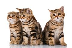 Three kittens sitting on a white background Stock Photos