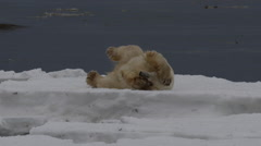 Slow motion polar bear rolls around on ice of coast to dry off Stock Footage