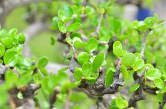 Green bonsai leaves in the spring Stock Photos