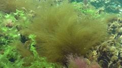 Brown algae (Desmarestia viridis) Stock Footage