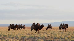Camels in the Gobi steppe in Mongolia Stock Footage