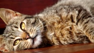 Cat resting Stock Footage