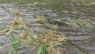 River Flow Scene with Weed Plants Nature Footage Stock Footage