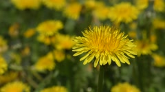 Flower dandelion on a background of a blossoming meadow. Arkistovideo
