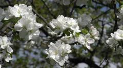 Flowering branch of apple tree. Stock Footage