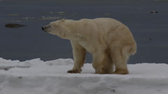 Slow motion - polar bear shakes and then rolls on broken sea ice Stock Footage