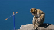 Barbary ape on the Rock of Gibraltar. crane in background Stock Footage