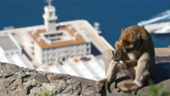 Barbary ape on the Rock of Gibraltar. City in background Stock Footage