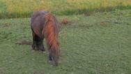 Horse grazing in field,Tiel,Netherlands Stock Footage