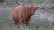 Scottish Highland cattle in dunes,Dunes,Netherlands Stock Footage