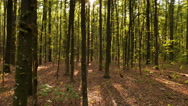 4K. Autumn mysterious wood with  sunbeams . Stedycam shot Stock Footage