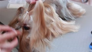 Groomer Yorkshire Terrier combing hair and wears a blue bow Stock Footage