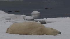 Slow motion - polar bear rolls all over sea ice chunk then shakes Stock Footage