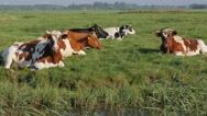Cows sitting in polder fields,Noord Holland,Netherlands Stock Footage