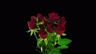 Time-lapse of opening red roses bouquet in RGB + ALPHA matte format Stock Footage