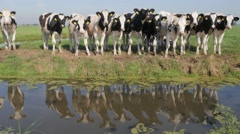 Curious young cows with reflection in canal,Noord Holland,Netherlands Stock Footage