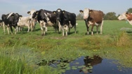 Cows with automation neckband in polder at canal ,Noord Holland,Netherlands Stock Footage