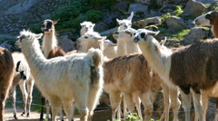 Herd of llamas Stock Footage