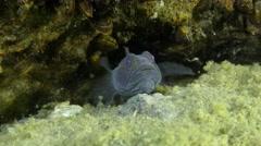 Black goby (Gobius niger) Stock Footage