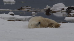 Slow motion - polar bear covers face with paws as it rolls on icy coast Stock Footage