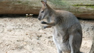 The red-necked wallaby. Bennett's wallaby. Macropus rufogriseus Stock Footage