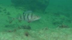 European perch (Perca fluviatilis) Stock Footage
