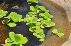 Green duckweed on the water Stock Photos