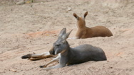 The red kangaroos are resting in shadow on the desert. Macropus rufus Stock Footage