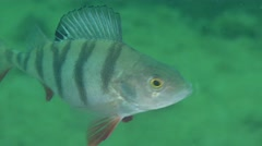 European perch (Perca fluviatilis) Stock Footage