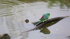 Red-Rumped Parrot (Psephotus Haematonotus) Stock Footage