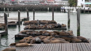 Sea lions on jetty San Francisco Stock Footage
