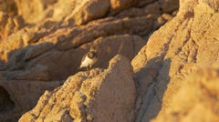Ruddy turnstone (Arenaria interpres) on the cliff Stock Footage
