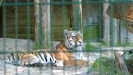 The Siberian tiger (Panthera tigris altaica). Wild animals in captivity Stock Footage