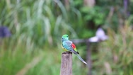 Red-Rumped Parrot On A Wooden Post Stock Footage
