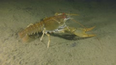 European crayfish crawling along the muddy bottom. Stock Footage