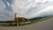 Slow-motion wide angle footage of beagle on the walk Stock Footage