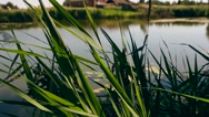 Natural background of green reeds against sparkling water Stock Footage