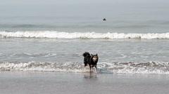 Dog shake off on the coast near sea Stock Footage