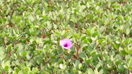 Red petunia flower with green leaves Stock Footage