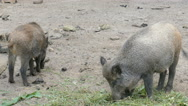 The wild boars (Sus scrofa) Stock Footage