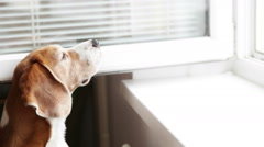 Funny beagle smelling something from the open window Stock Footage