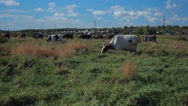 Herd of cows on the meadow Stock Footage