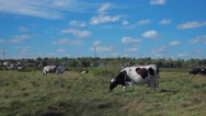 Cow grazing in the countryside Stock Footage