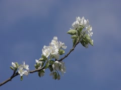 Flowering branch of of apple tree against the sky, close-up. Stock Footage