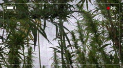Fake police camera footage of illegal marijuana plantation Stock Footage