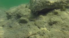 Dice Snake (Natrix tessellata) crawling along the bottom. Stock Footage