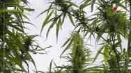 Fake police camera footage of illegal marijuana plantation Stock Footage