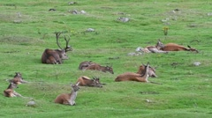 Red deer stag with hinds resting in grassland in the Scottish Highlands, UK Stock Footage