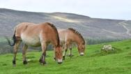 Two Przewalski horses (Equus ferus przewalskii) grazing in grassland Stock Footage