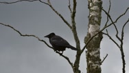 Carrion crow (Corvus corone) perched in birch tree and flying away Stock Footage